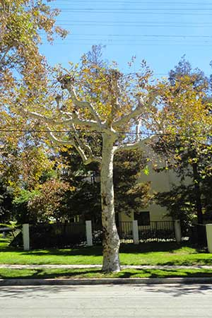 Tree Shaping Services in Pasadena, CA