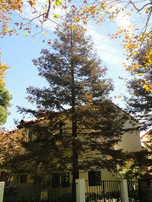 Tree shaping  services in pasadena, california