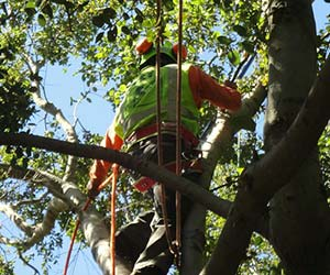 Tree trimming services in Pasadena, CA